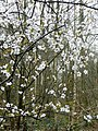 Blossom in the wood - geograph.org.uk - 722235.jpg
