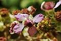 Blossom of Rubus sectio Rubus (KPFC) 01.jpg