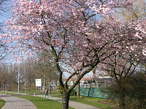English: Blossoming tree in Dronten.