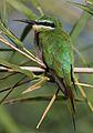 Blue-cheeked bee-eater, Merops persicus, Chobe National Park, Botswana (32364460141).jpg