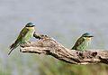 Blue-cheeked bee-eater, Merops persicus, Chobe National Park, Botswana (32364943881).jpg