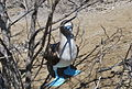Blue-footed Booby at Isla de la Plata.jpg