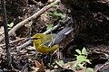 Blue-winged Warbler (male) Sabine Woods TX 2018-04-21 12-21-56 (41971736251).jpg
