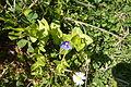 Blue Pimpernel Alvor Portugal 29.02.16 (25341028291).jpg