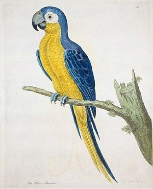Martinique macaw - Unidentified parrot supposedly from Jamaica, which may be the Martinique macaw, by Eleazar Albin, mid-1700s