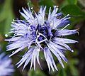 Blue flower in Slovenia 4.jpg