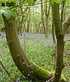 Bluebells in South Weald April08.jpg