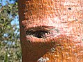 Boab Tree Bark With Eyes (1711039685).jpg