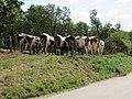 Boissia - Vue arrière d'un troupeau de montbéliardes (juil 2018).jpg