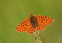 Boloria graeca - Balkan Fritillary butterfly 02.jpg