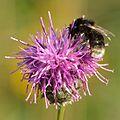 Bombus soroeensis - Centaurea scabiosa - Keila.jpg