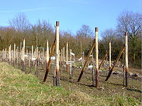 Bonn Limperich wineyards.JPG