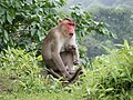 Bonnet Macaques Macaca radiata Kanheri SGNP Mumbai by Raju Kasambe DSCF0056 (1) 06.jpg