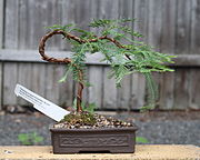 Bonsai Dwarf Dawn Redwood bonsai, July 14, 2008.jpg