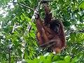 Bornean Orangutan (14181538021).jpg