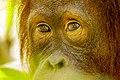Bornean orangutan (Pongo pygmaeus), Tanjung Putting National Park 14.jpg