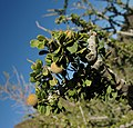 Boscia foetida fruit and leaves IMG 8631.JPG