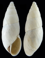 Bostryx chusgonensis sipas shell.png