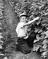 Boy kneeling in a pole bean field, circa 1940 (7951544616).jpg