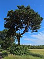 Bramsche Pinus sylvestris 01.jpg