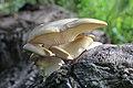 Branching Oyster Mushroom, Pleurotus conucopiae.jpg
