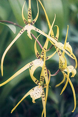 meaning of brassia