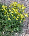 Brassica nigra PID2061-1.jpg