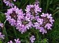 Breckland Thyme Thymus serpyllum (6169103649).jpg