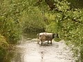 Broom, a cow in the River Axe in Dorset - geograph.org.uk - 1383137.jpg