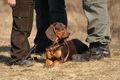 BrownPolishScenthound2-GONA-Inny Swiat wl.L.Stawiarski.jpg