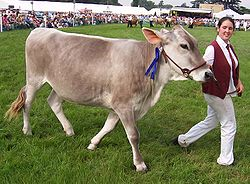 Brown Swiss is the breed of dairy cattle that produces the second largest quantity of milk per annum, over 9000kg