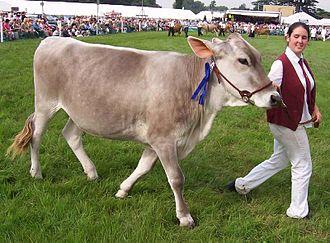 Brown Swiss - A Brown Swiss dairy heifer