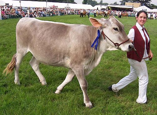 Brown_swiss