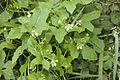 Bryona dioica bray-sur-somme 80 25062007 1.jpg