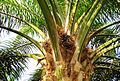 Buah kelapa sawit (4).JPG