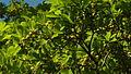 Buchenavia tetraphylla Bahia Brazil 02.jpg