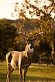 Buck at Sunset (Unsplash).jpg
