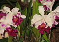 Budapest Orchid Exhibition 2006 23.JPG