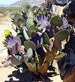 Budding Yellow Beavertail Cactus.jpg