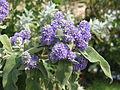 Buddleia salviifolia (7267665472).jpg