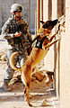 Buddy, a bomb sniffing dog, patrols Camp Echo.jpg