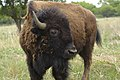 Buffalo are abundant at Stasney's Cook Ranch in Albany, Texas. (25017132331).jpg