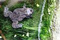 Bufo bufo at Universeum european toad IMG 5114.jpg