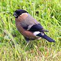 Bullfinch (Pyrrhula pyrrhula) (15).JPG