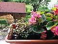 Bumblebee on Begonia x semperflorens-cultorum publicdomain tbf - 13.jpg