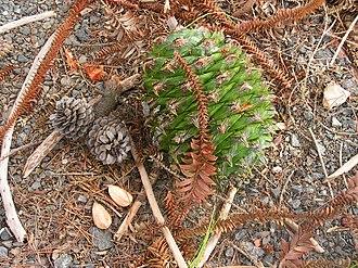 Araucaria bidwillii - Whole cone and nuts