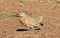 Burchell's sandgrouse, Pterocles burchelli, at Mapungubwe National Park, Limpopo, South Africa (17979394331).jpg