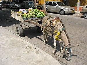 Burro en Barranquilla