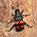 Burying beetle (Nicrophorus sp) (16603275304).jpg