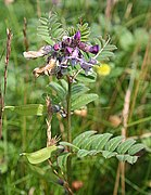 Bush Vetch (Vicia sepium) - geograph.org.uk - 911123.jpg